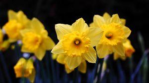 Превью обои нарцисс, цветение, желтый