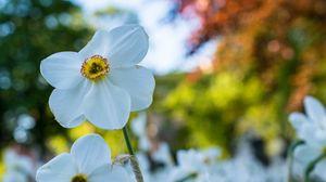 Превью обои нарцисс, цветок, белый, лепестки