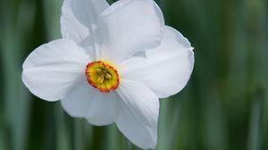 Превью обои нарцисс, цветок, белый, макро, бутон