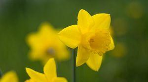Превью обои нарцисс, цветок, лепестки, размытость