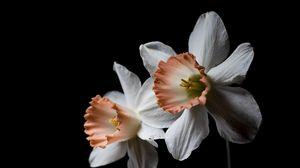 Превью обои нарцисс, цветок, растение, черный