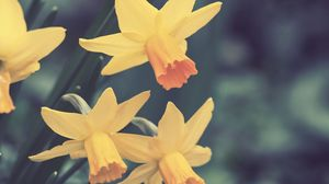 Превью обои нарциссы, цветы, бутоны