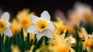 Превью обои нарциссы, цветы, фокус, макро