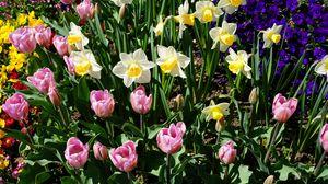 Превью обои нарциссы, тюльпаны, клумба