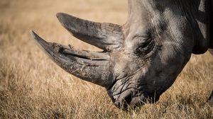Превью обои носорог, млекопитающее, рог