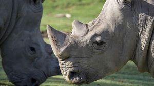 Превью обои носорог, морда, большой