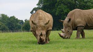 Превью обои носорог, пара, еда, трава