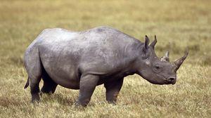 Превью обои носорог, поле, трава, рог