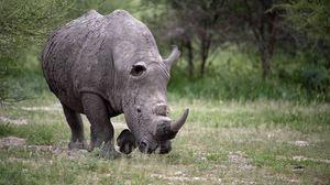Превью обои носорог, прогулка, трава, огромный