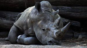 Превью обои носорог, рог, лежит