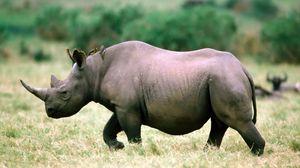 Превью обои носорог, трава, прогулка