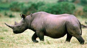 Превью обои носорог, трава, прогулка, небо