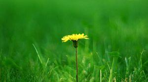 Превью обои одуванчик, поляна, трава, размытость, лето