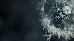 Превью обои одуванчик, растение, цветок, семена, пух