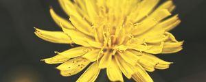 Превью обои одуванчик, цветок, лепестки, макро, желтый