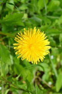 Превью обои одуванчик, цветок, растение, желтый, макро