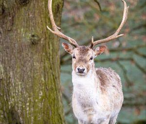 Превью обои олень, животное, рога, лес, дикая природа