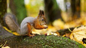Превью обои орехи, белка, лес
