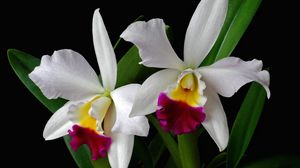 Превью обои орхидея, цветок, экзотика, листья, двухцветная