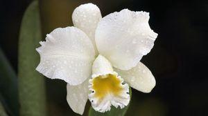 Превью обои орхидея, капли, белый, цветок, бутон