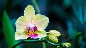 Превью обои орхидея, цветок, бутон, лепестки