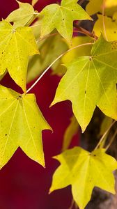 Превью обои осень, макро, красный, листва, фон