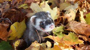 Превью обои осень, мордочка, листья, хорек