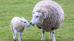 Превью обои овца, ягненок, детеныш, мама, шерсть