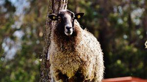Превью обои овца, кудри, трава
