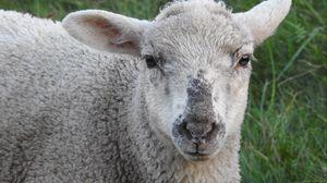 Превью обои овца, морда, кудрявый