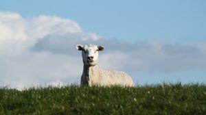 Превью обои овца, пастбище, луг, ферма