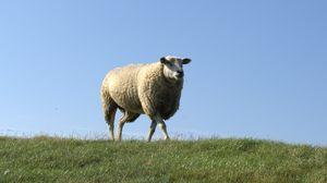 Превью обои овца, поле, трава, прогулка