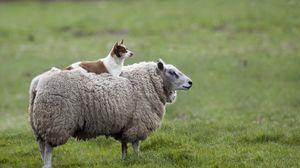 Превью обои овца, собака, трава