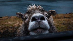 Превью обои овца, забавный, животное, милый, заглядывать