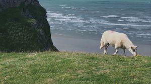 Превью обои овца, животное, побережье, море