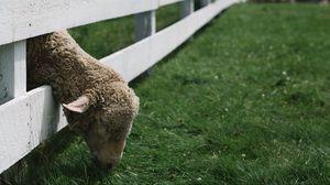 Превью обои овца, животное, забор, трава
