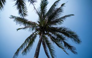 Превью обои пальма, дерево, кокосы, небо, тропики