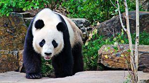 Превью обои панда, камни, ветки, прогулка, большой
