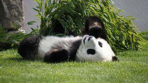 Превью обои панда, лежать, трава