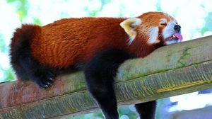 Превью обои панда, малая панда, красная панда, ветка, отдых, сон