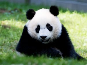 Превью обои панда, пушистый, животное, взгляд