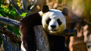 Превью обои панда, взгляд, животное, дикая природа