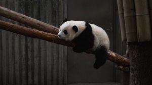 Превью обои панда, животное, дерево, бамбук