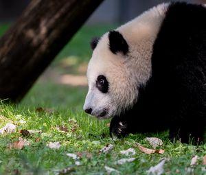 Превью обои панда, животное, пушистый, взгляд