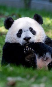 Превью обои панда, животное, пушистый, милый, трава