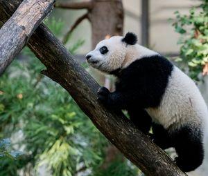 Превью обои панда, животное, взгляд, деревья