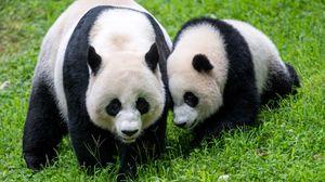 Превью обои панды, животные, семейство