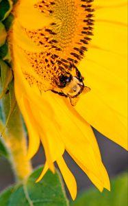 Превью обои пчела, насекомое, подсолнух, лепестки, макро, желтый