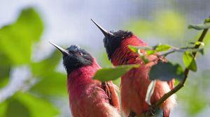 Превью обои пчелоеды, птицы, ветка, дикая природа