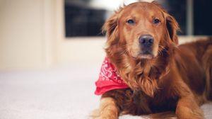 Превью обои пес, рыжий, планшет, собака